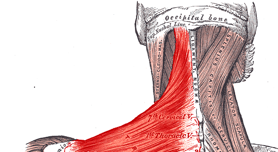 upper-trapezius
